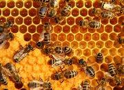 madu-lebah
